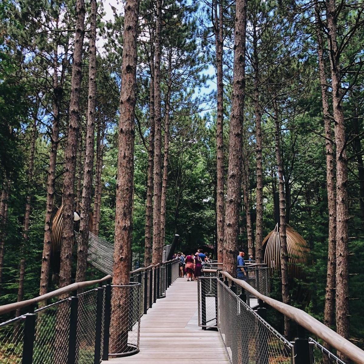 人们在陶氏花园的怀廷森林林冠散步,穿过一片高耸的松林
