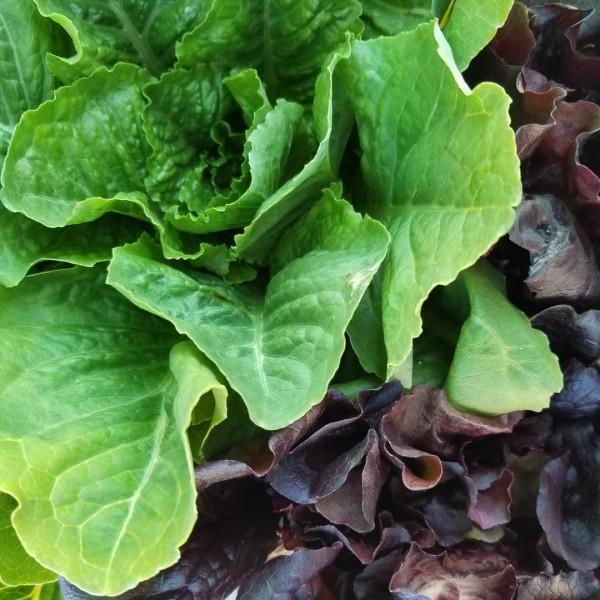 Arkenberg Farms, lettuce