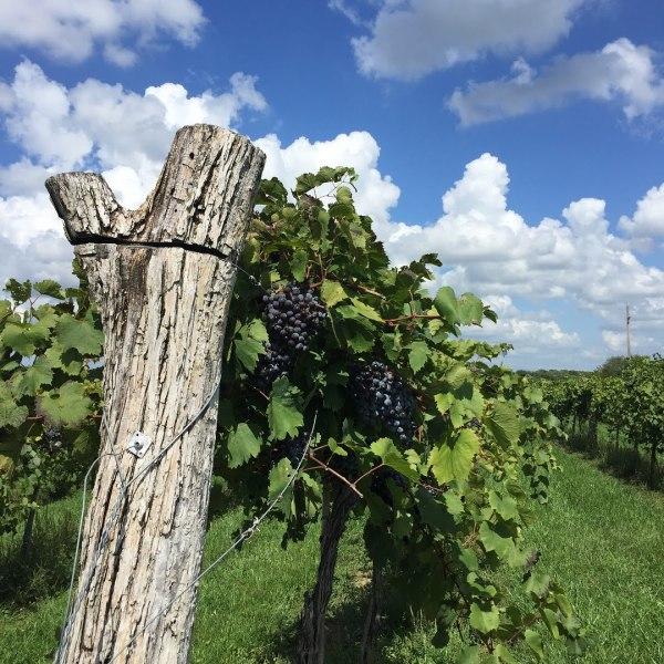 Bluejacket Crossing Vineyard and Winery grapevine
