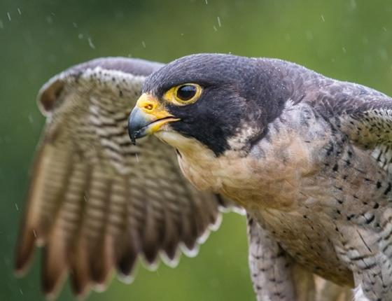 Special Focus Program - Falcons, High-speed Avian Predators