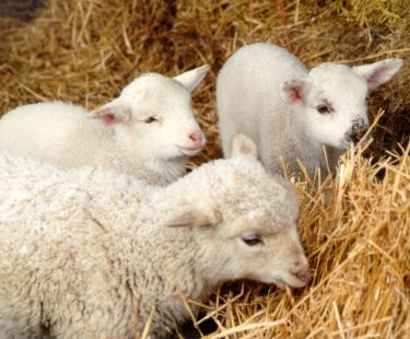 Meadow Farm Museum Sheep