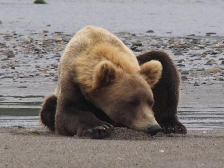 Bear Viewing at Hallo Bay