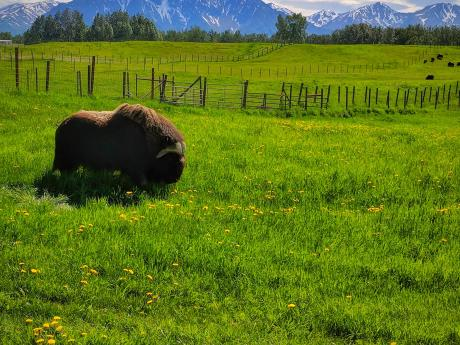 Summer at the Musk Ox Farm