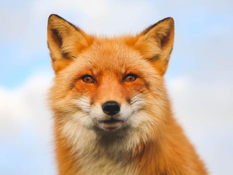 Jade the Fox