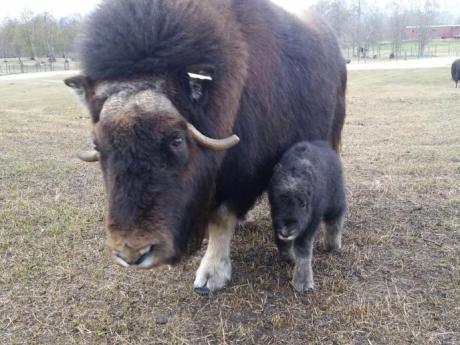 Musk Ox Farm 2