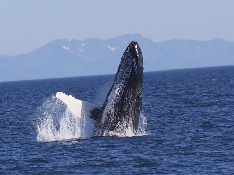 Whale watching in Prince William Sound