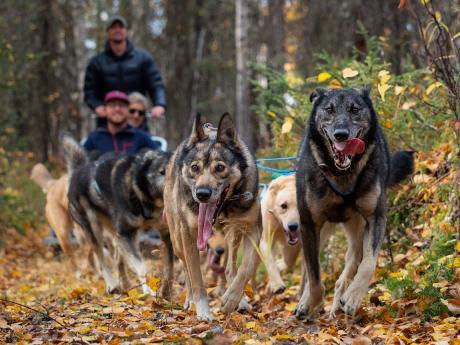 Alaska summer dog sled tours 5