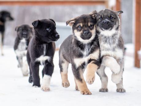 Alaska winter dog sledding 3