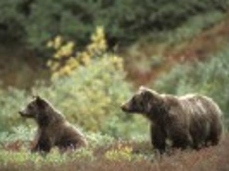 Alaska Adventure Bears