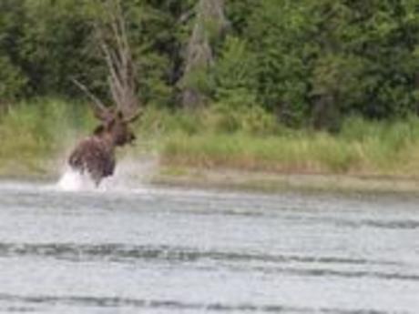 Moose crossing the Kenai River
