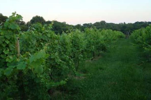 112042_5067_Zephaniah Farm Vineyard 2.JPG