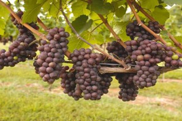 112682_4991_Casanel Vineyards.jpg