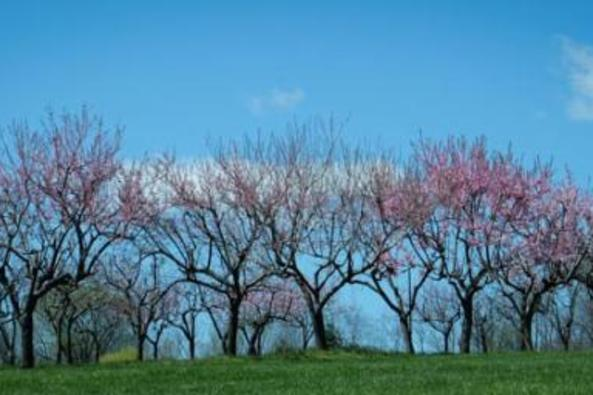 148505_7541_springtime peach orchard at 868.jpg