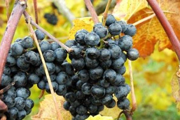 35759_4995_Chrysalis grapes.jpg