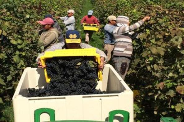 44267_4603_village winery picking.JPG