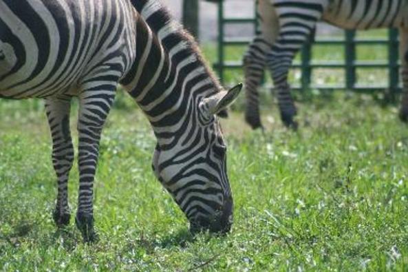 9286_4125_zebra1.jpg