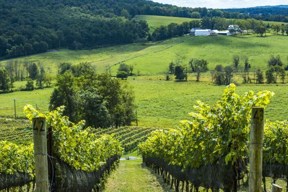 Walk among the Vines