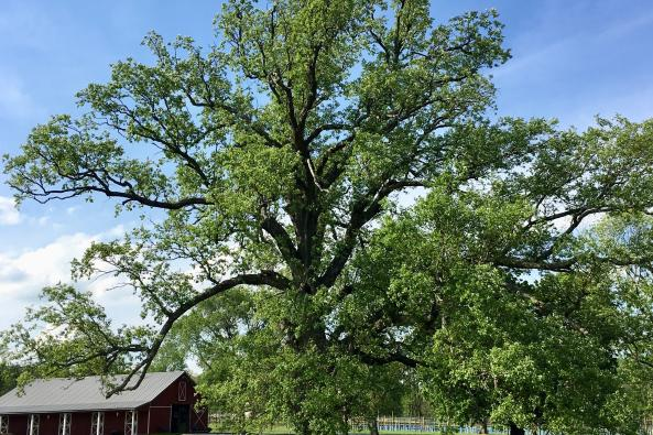 gforever farm our mighty oak