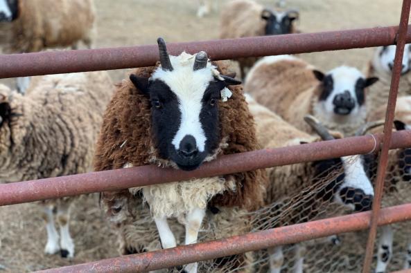 Shiloh Sheep