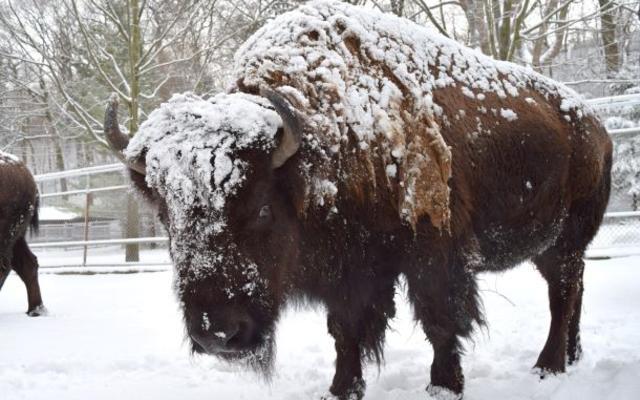 Bison -Alberta