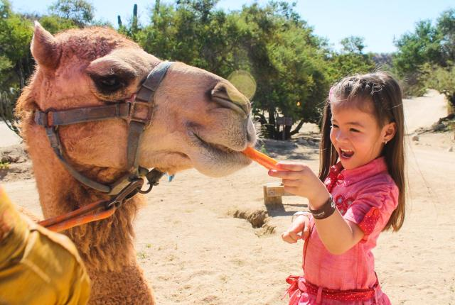 camels with kids