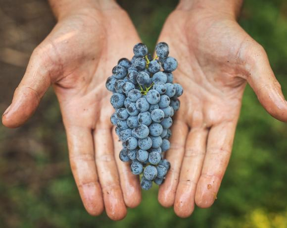 Voluptuary and Lucid Wines Grapes