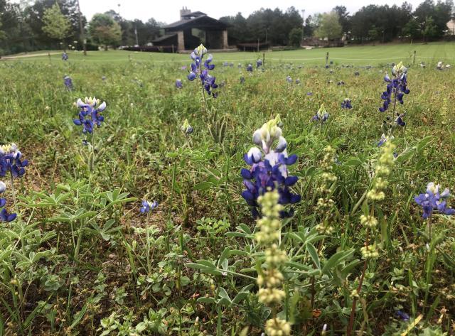 Blue Bonnets at Rob Fleming Park