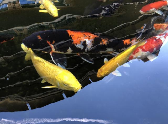 Koi Garden - Koi Fish