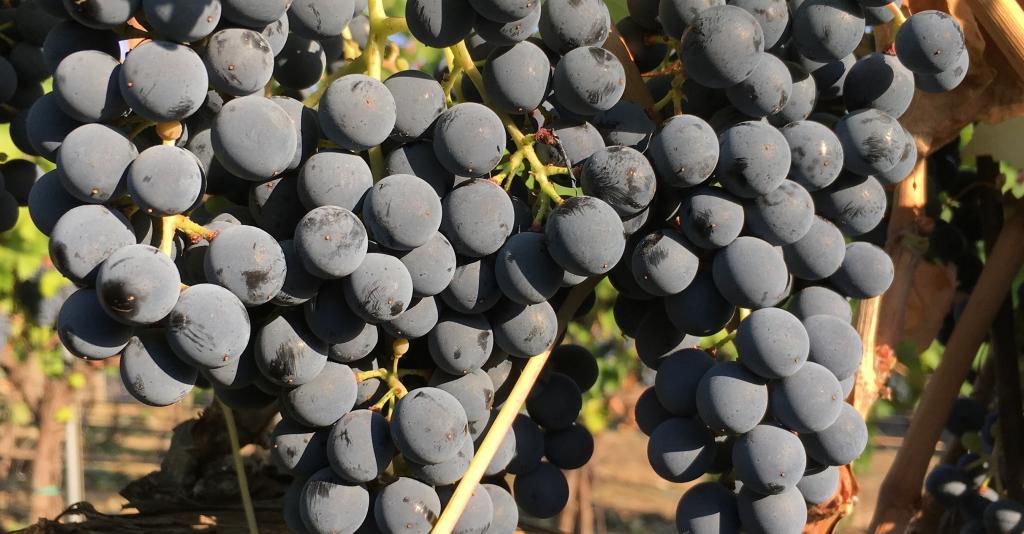 Pre-Harvest Grapes