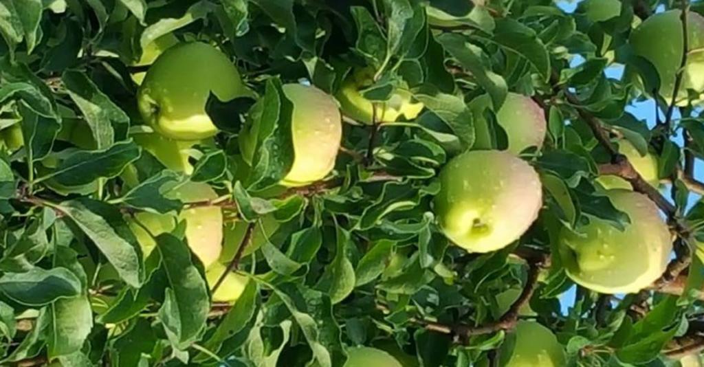 Reisinger's Apple Country - Apple Tree