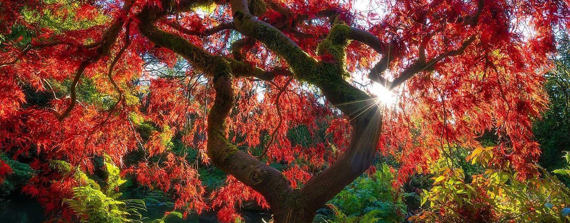 Sunshine backlit Maple Tree at Kubota Garden