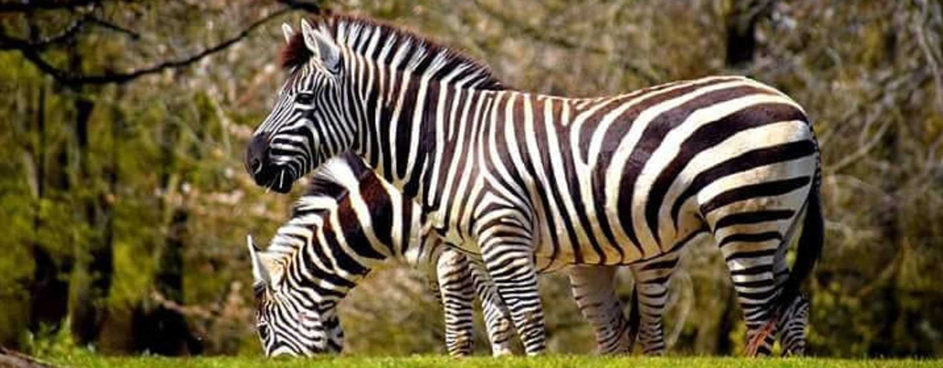 Zebras at Woodland Park Zoo in Seattle