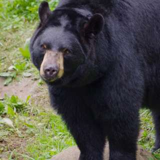 VIRTUAL: Brews and Bears with the WNC Nature Center