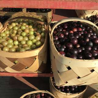 Celebrating our state fruit -- Scuppernong grapes!