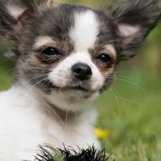 Monday Meetup - Chihuahuas