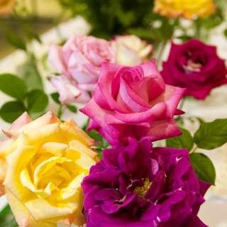 Asheville-Blue Ridge Rose Society Exhibition