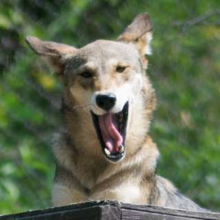 Junior Wolf Howl
