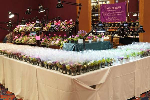 2019 African Violet Convention and Show
