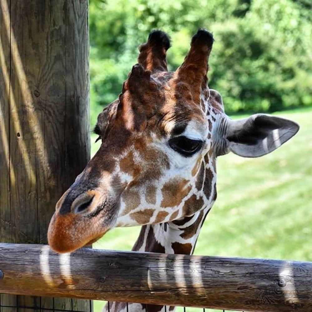 DO NOT USE Hannah Wenndt Fort Wayne Children's Zoo Giraffee #MyFortWayne Photo