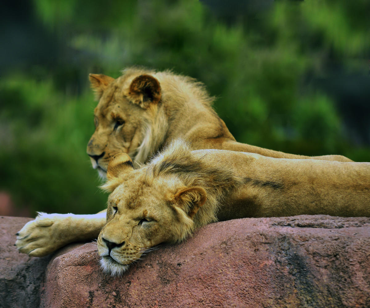 Two lions lounging at Norfolk Zoo