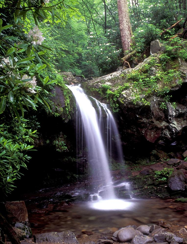 Rhododendrons bloom near the banks of Grotto Falls located near Gatlinburg, TN.