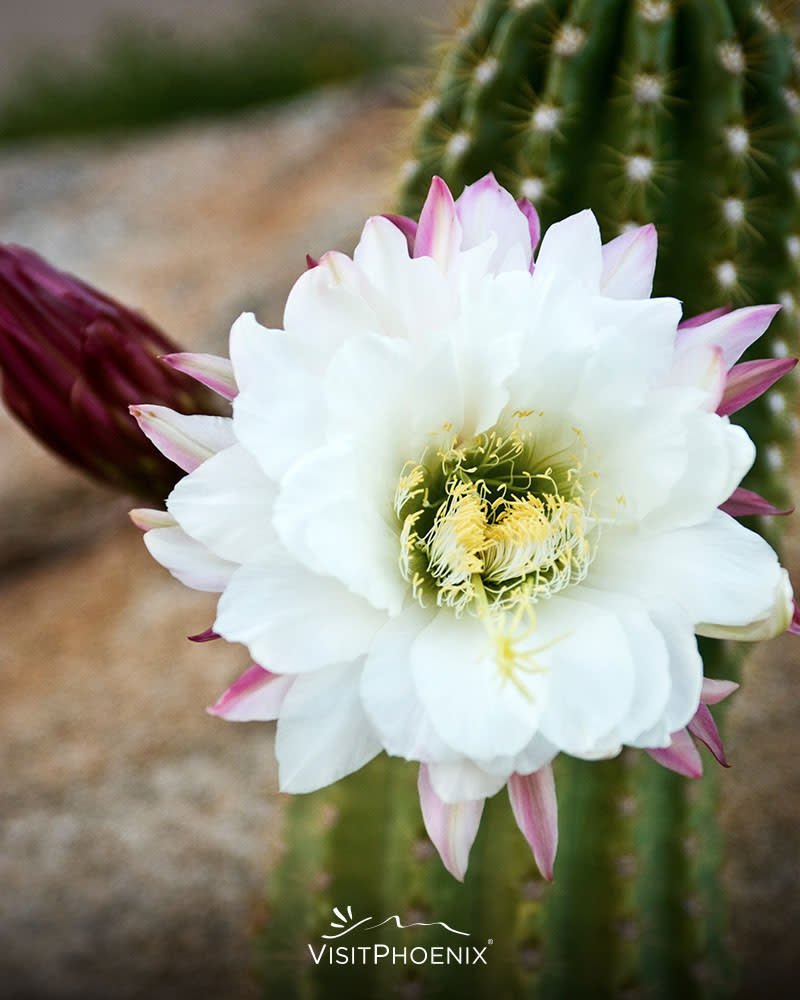 A desert flower blooms on a cactus