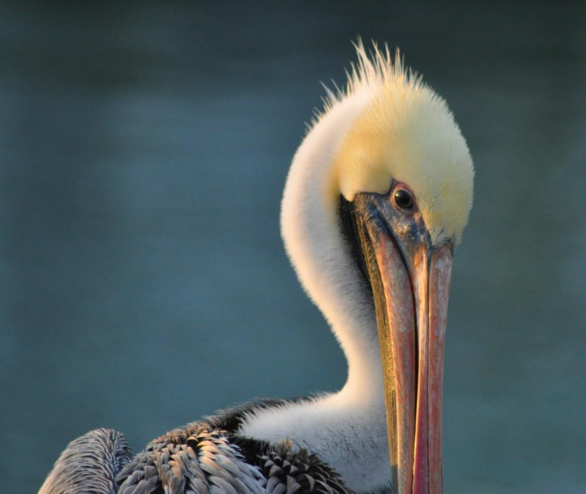 Galveston birding