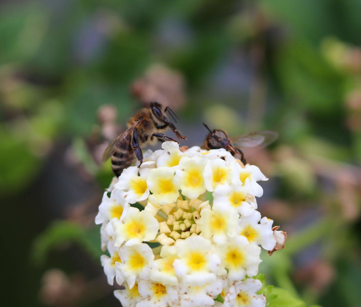 Bee on Flowers at Meadow Vista
