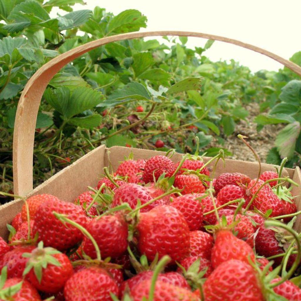 Strawberries-on-903.jpg