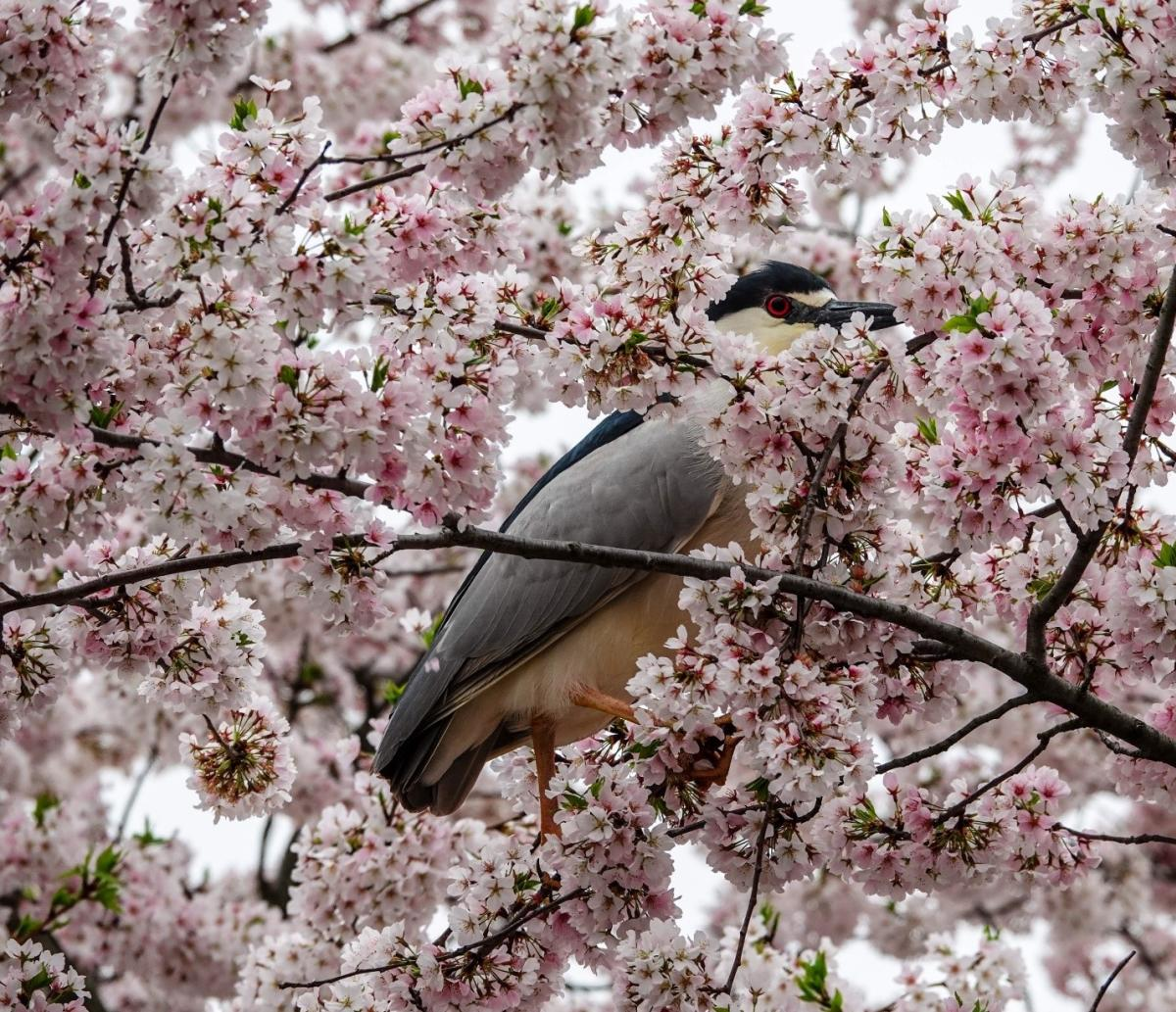 Black Crowned Night Heron in a Cherry Blossom At Culler Lake