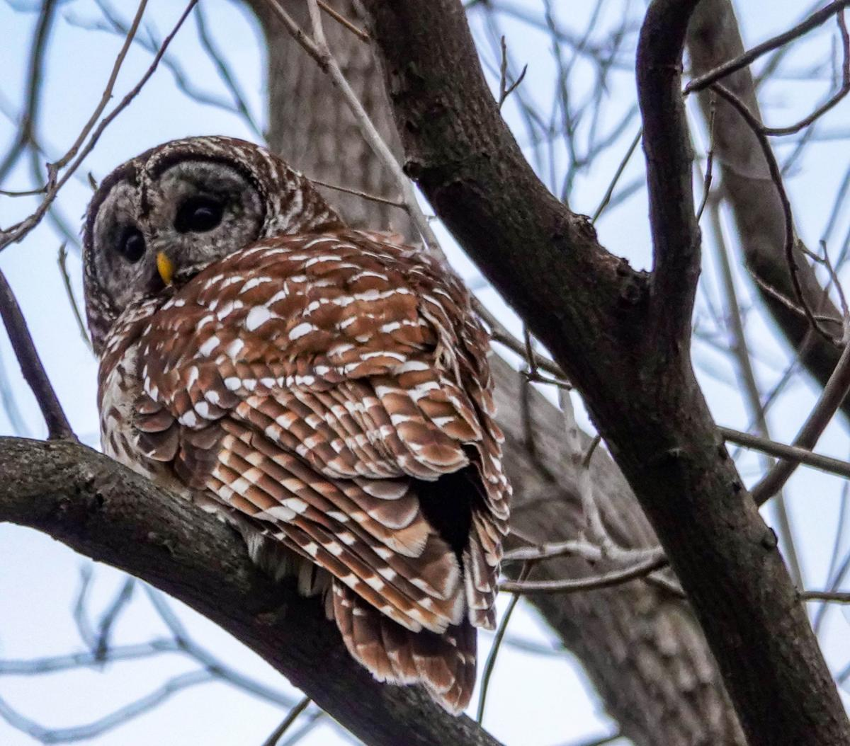 Barred Owl sitting on bare tree branch at Monocacy River Trail