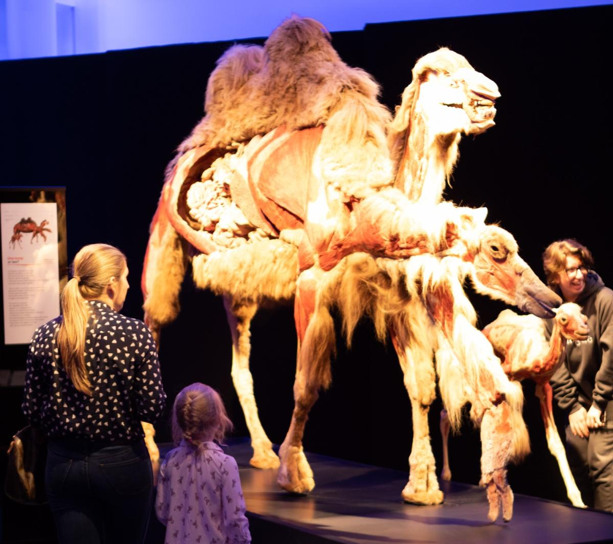 Visitors with camel_BodyWorlds_Manitoba Museum