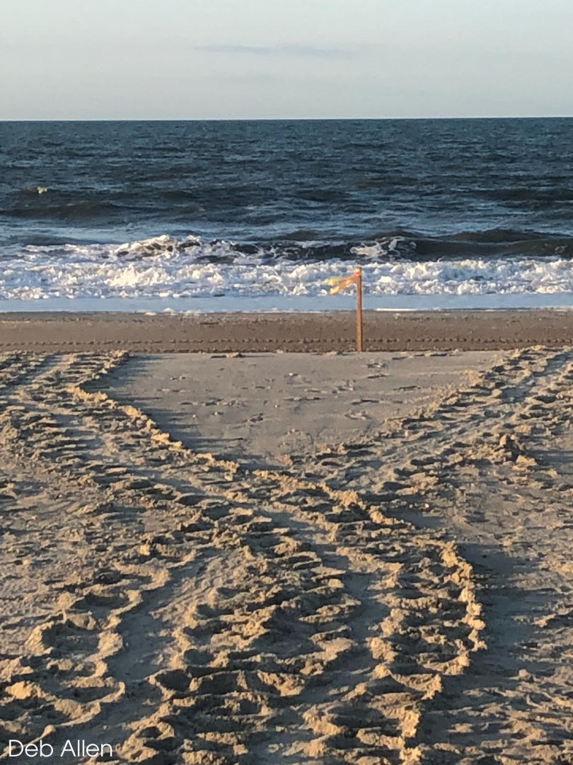 Sea turtles leave tell-tale tracks in the sand where they come to lay their eggs
