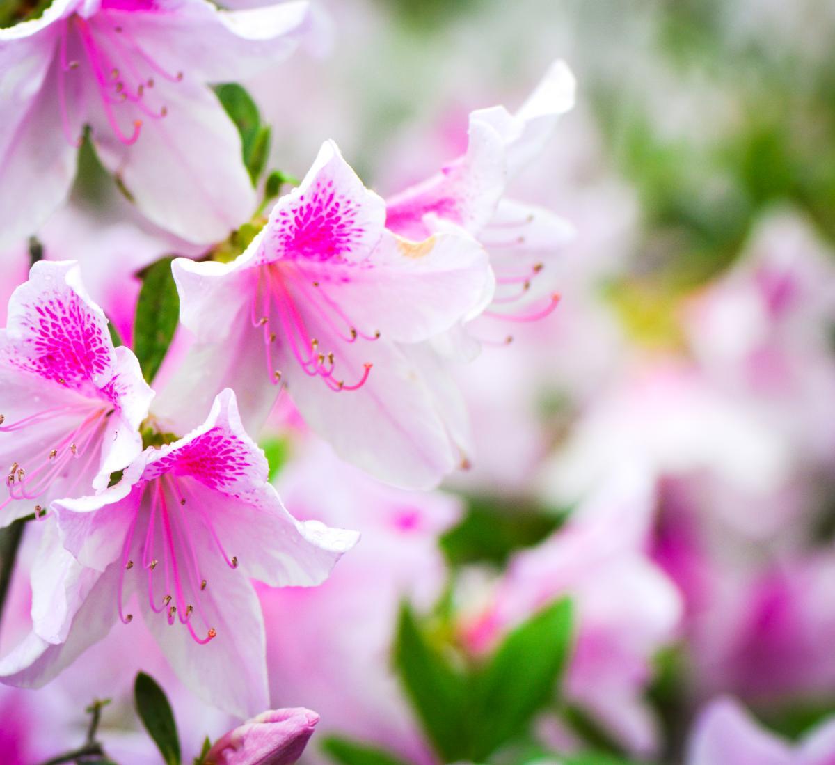Colorful Azalea Flowers